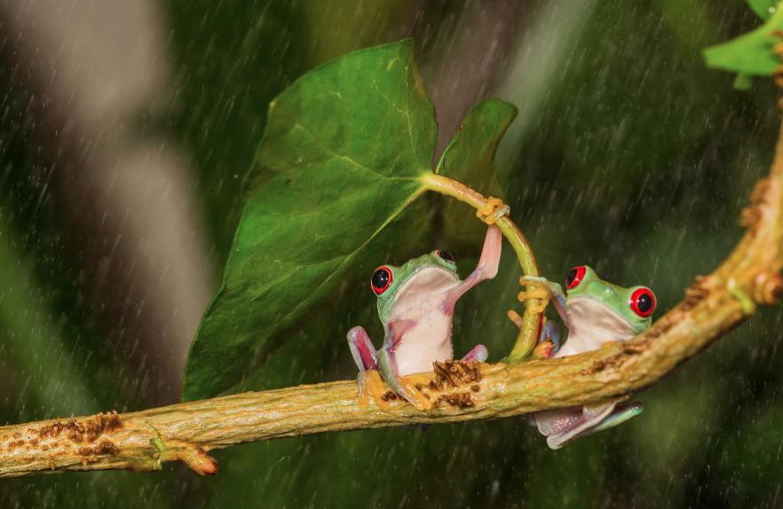 "žába s ""deštníkem"""