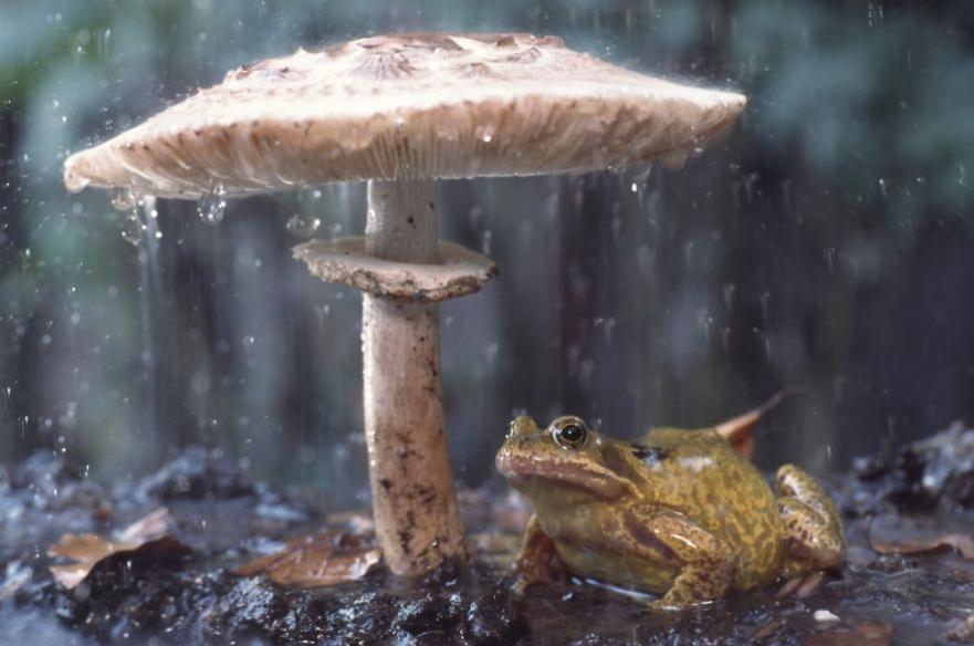 žába pod houbou