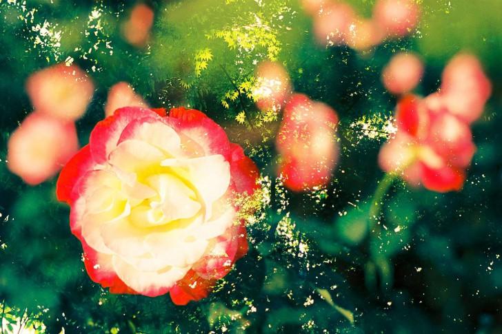 Růže v zeleném