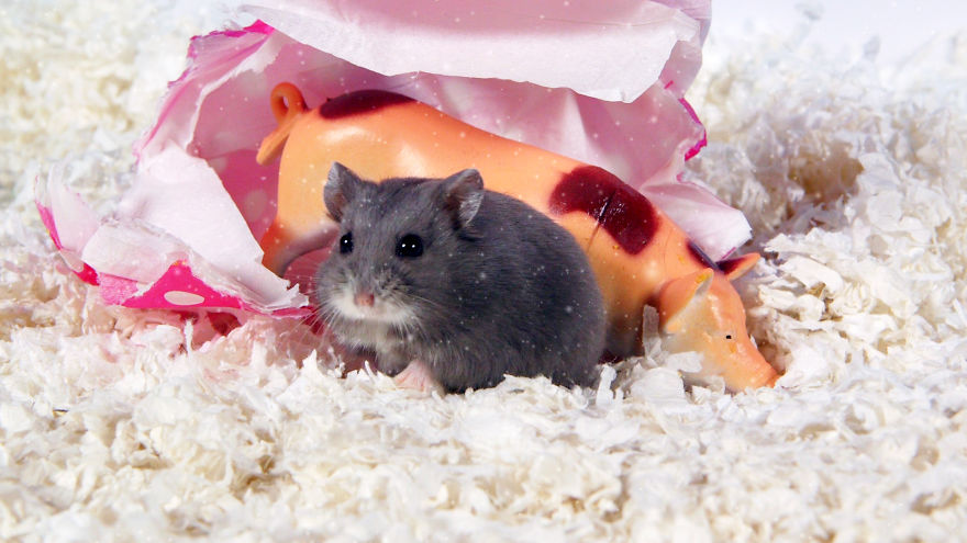 Cute-Hamsters-12-Days-of-Christmas-Pics-and-Videos14__880