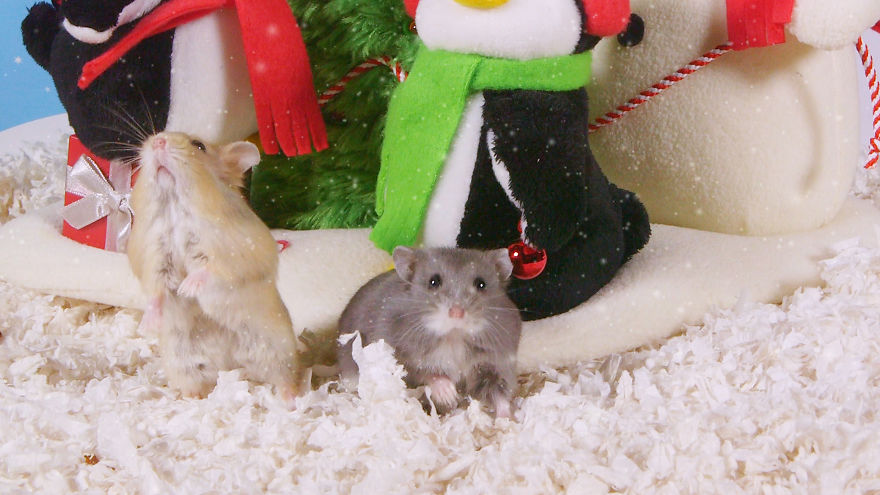 Cute-Hamsters-12-Days-of-Christmas-Pics-and-Videos15__880