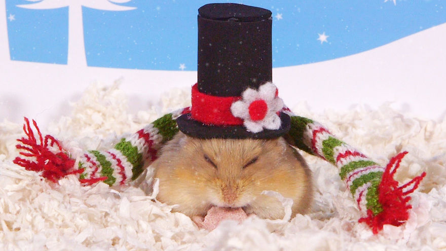 Cute-Hamsters-12-Days-of-Christmas-Pics-and-Videos16__880