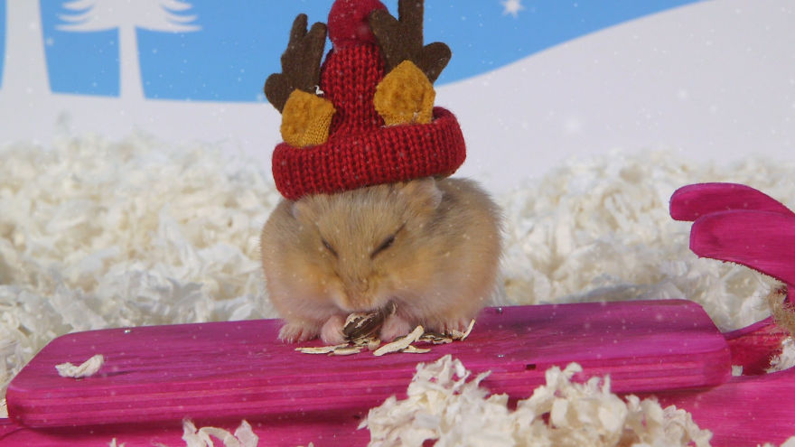Cute-Hamsters-12-Days-of-Christmas-Pics-and-Videos7__880
