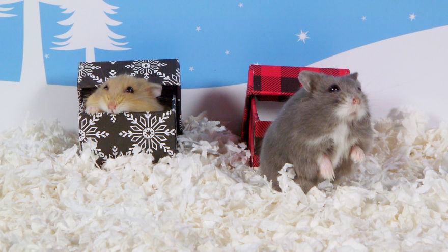 Cute-Hamsters-12-Days-of-Christmas-Pics-and-Videos8__880