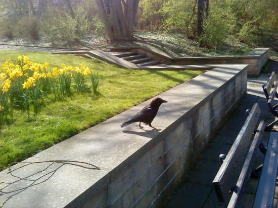 Drážďanský krkavec. Dokáže i nemožné. Zažene holuby z celého Saska a sežere vám řízky. (Foto: Archiv autora)