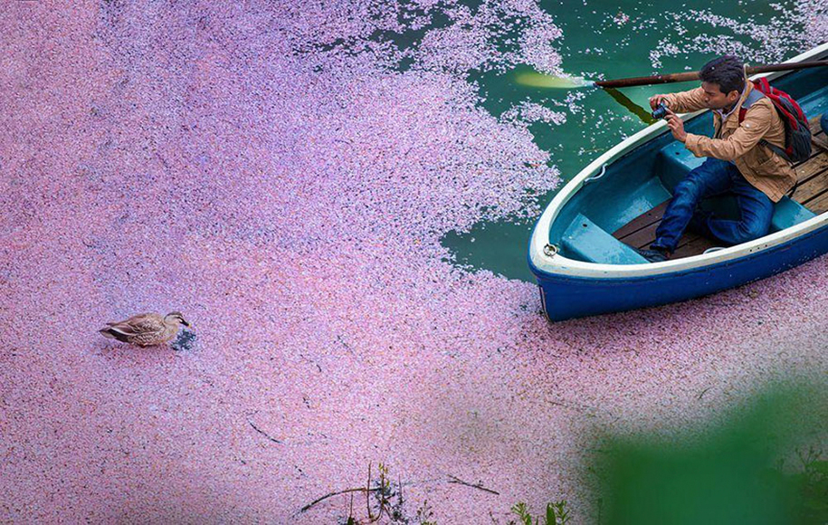 spring-colors-japan-cherry-blossoms-national-geographic-14