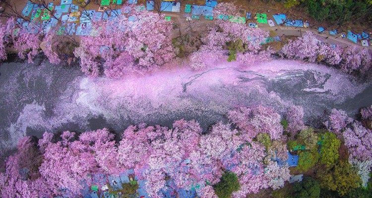 spring-colors-japan-cherry-blossoms-national-geographic-16