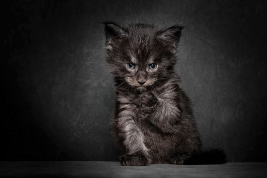 maine-coon-cat-photography-robert-sijka-14-57ad8ed42c03d__880