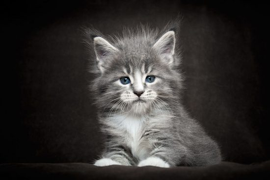 maine-coon-cat-photography-robert-sijka-26-57ad8ee957f86__880