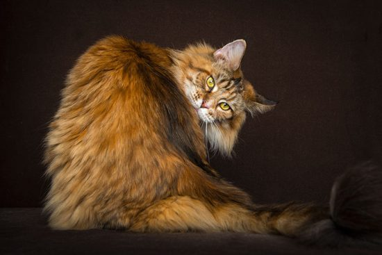 maine-coon-cat-photography-robert-sijka-39-57ad8eff74fb9__880