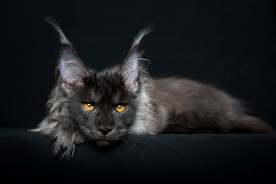 maine-coon-cat-photography-robert-sijka-47-57ad8f0caa896__880
