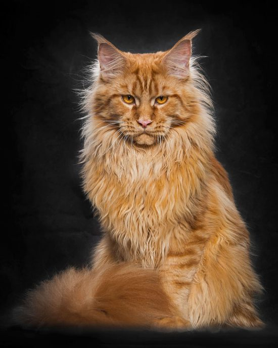 maine-coon-cat-photography-robert-sijka-51-57ad8f13b7436__880