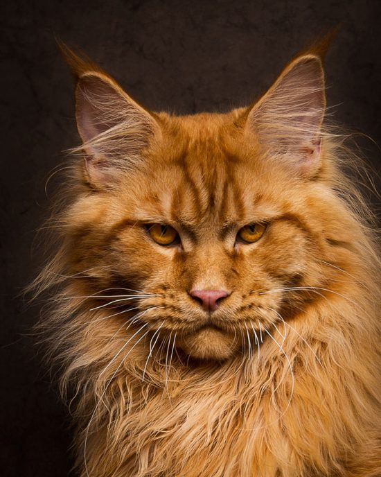 maine-coon-cat-photography-robert-sijka-55-57ad8f1b7ddd2__880