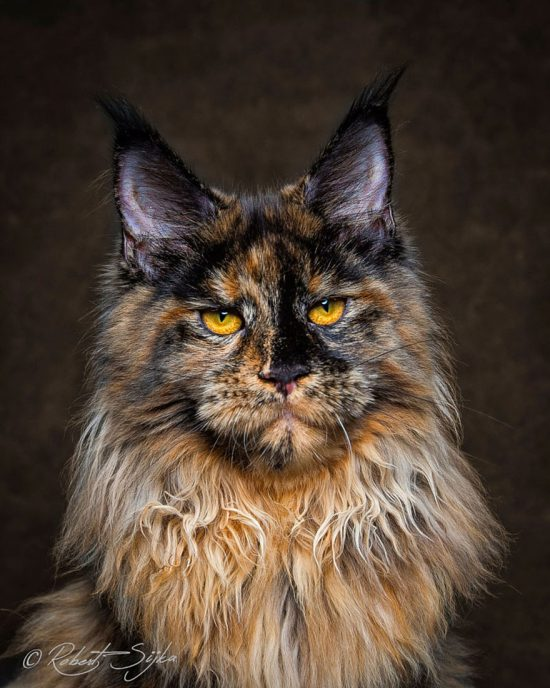 maine-coon-cat-photography-robert-sijka-61-57ad8f2679730__880