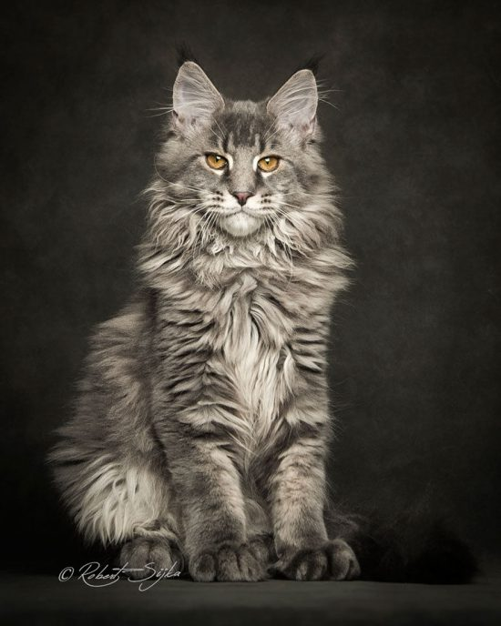 maine-coon-cat-photography-robert-sijka-63-57ad8f2a1257b__880