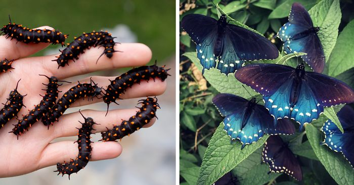 rare-blue-swallowtail-pipevine-butterfly-repopulation-tim-wong-fb__700-png