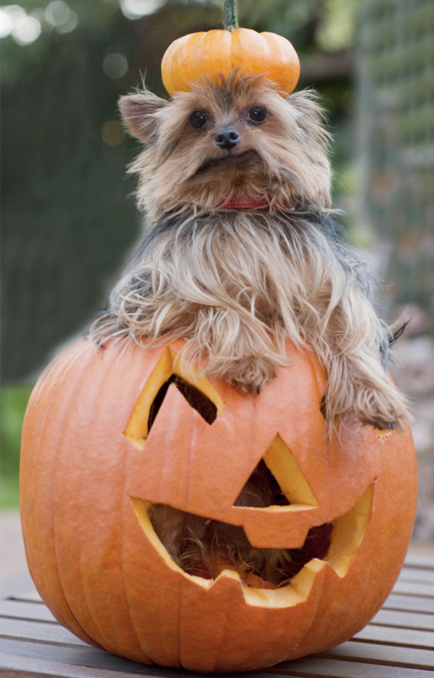 dog-pumpkin