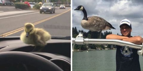 man-rescues-drowning-gosling-oregon-fb2__700-png