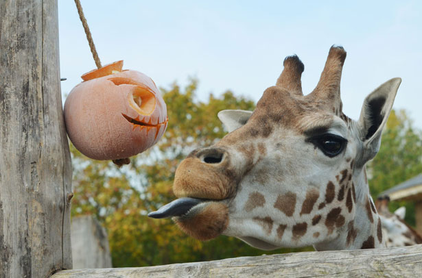 pumpkin-giraffe