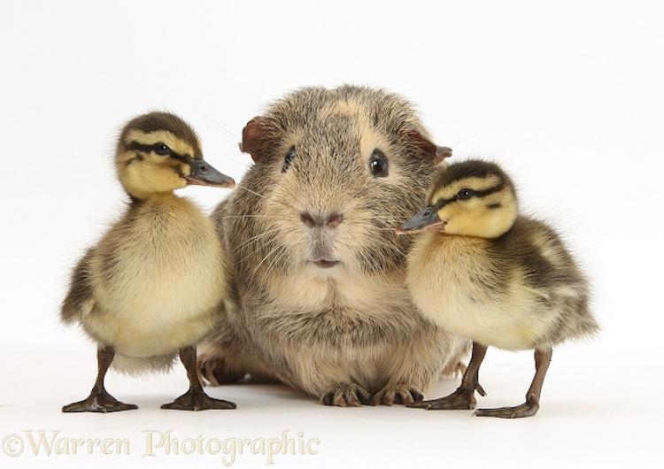 Guinea pig and Mallard ducklings