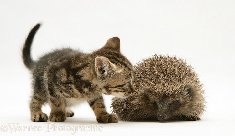 Tabby kitten inspecting a Hedgehog
