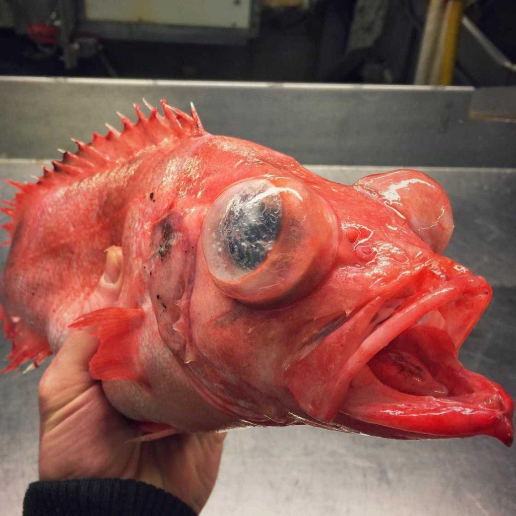 poissons-des-profondeurs-18