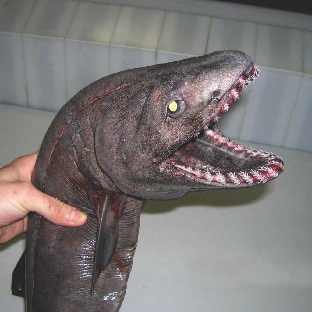 poissons-des-profondeurs-4