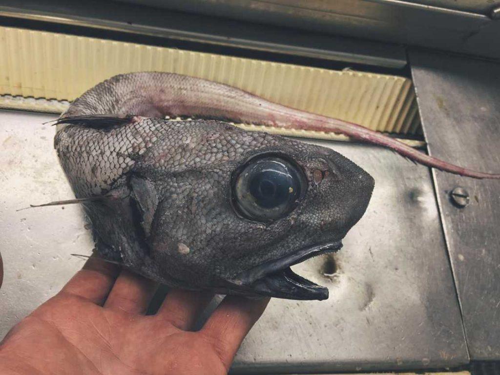 poissons-des-profondeurs-5