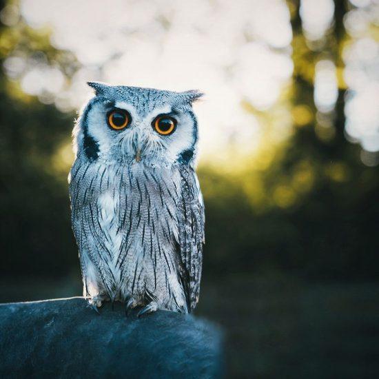 owl-5868fee185bcc-jpeg__880